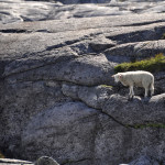 High altitude sheep, Skjerag, Norway